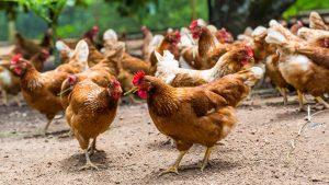 elevage poulet